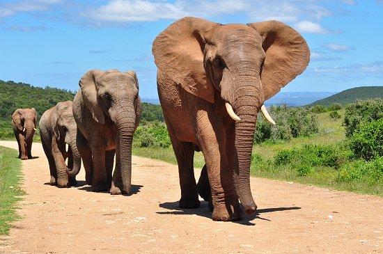Feminino de elefante