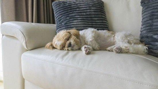 Como Tirar Cheiro de Cachorro do Sofá