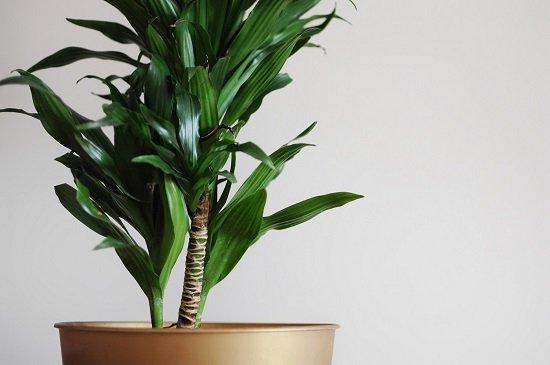 Planta Dracena