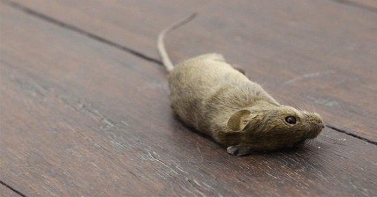 Sonhar com Rato Morto