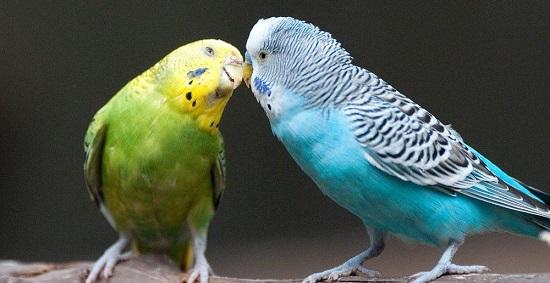 Top Pássaros que Fala