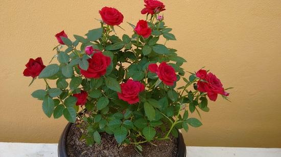 Adubo para Mini Rosas