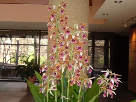 Orquídea Capuz de Freira como cultivar