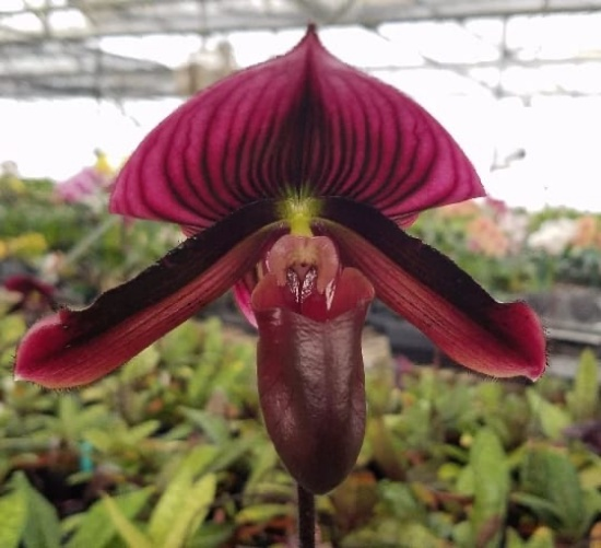 Orquídea Sapatinho como cuidar