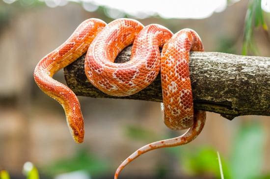 Cobra laranja